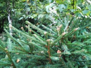 обрезка елки