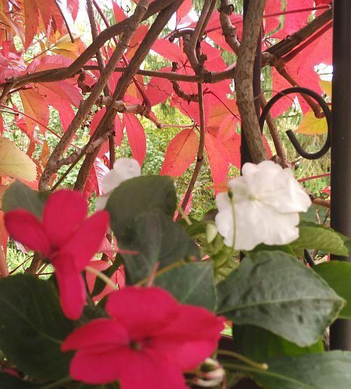 бальзамин осенью